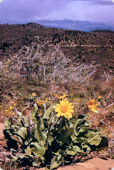 Flowering arnica herb - May 1972 - Montezuma County, Colorado